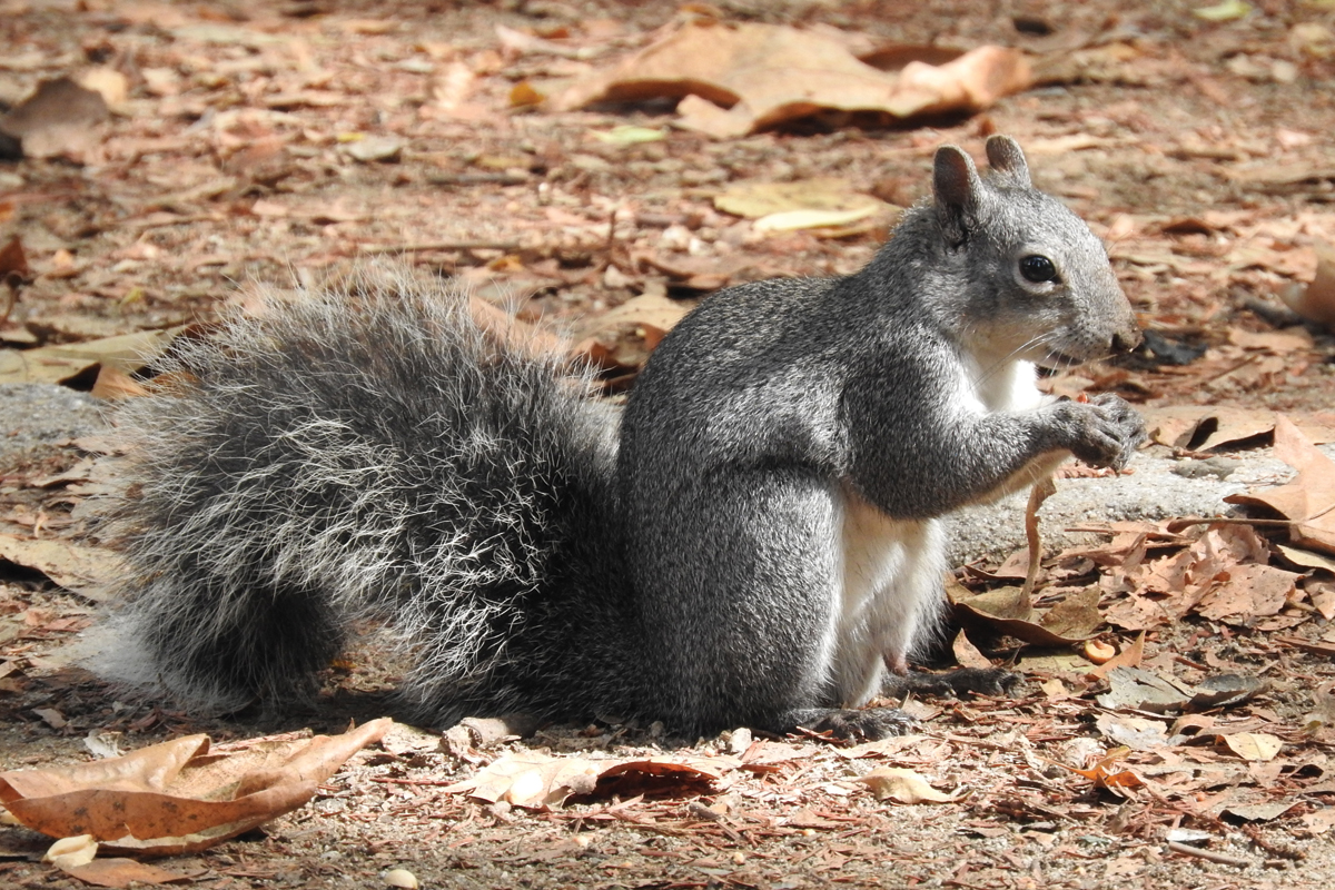 The Western Gray Squirrel – Will They Survive in Griffith Park?
