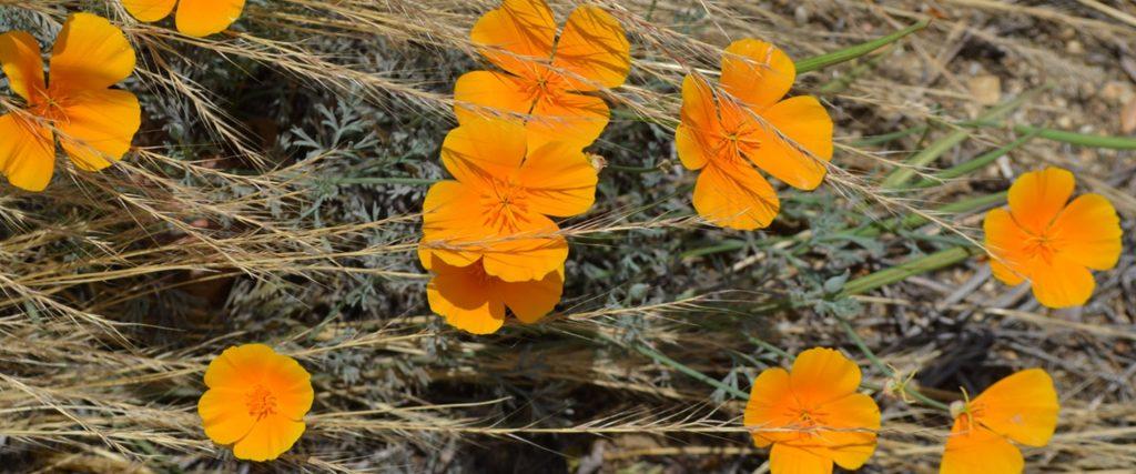 CA-Poppies-Kathryn_Louyse