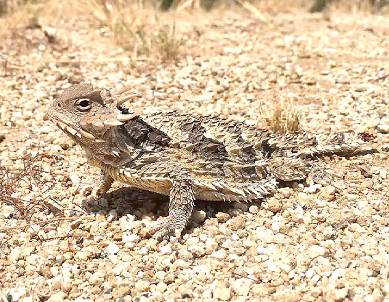Species of Concern: Recap of Sarah Wenner's Talk on Horned Lizards