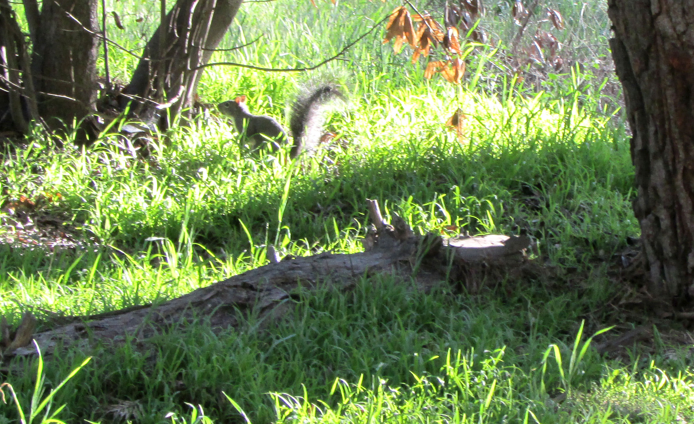 Species of Concern: Chris DeMarco's Discussion of the Western Gray Squirrel